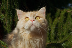 Braving the sun (FocusPocus Photography) Tags: linus katze kater cat chat gato tier animal haustier pet garten garden