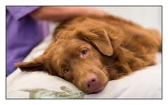 Cool Dog Massage (Eline Lyng) Tags: toller retriever massage dogmassage cooldog rehabilitation leica s leicas summarits 70mm mediumformat portrait bokeh dof photojournalism