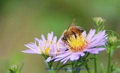 Don't Worry, Bee Happy..:) (law_keven) Tags: bee bees catford england insects bugs gardens saveourbees