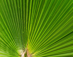 Green Palm Leaf (Batikart) Tags: plant detail macro green texture nature colors lines closeup canon germany garden geotagged deutschland leaf spring flora europa europe pattern colours seasons background linie natur pflanze struktur palm foliage greenery colourful grn fullframe makro ursula blatt garten palme muster farben frhling sander fellbach 2016 badenwrttemberg frhjahr 100faves batikart canonpowershotg11
