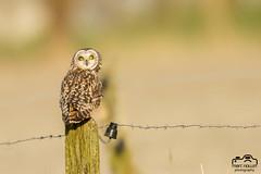 Asio flammeus - Short-eared Owl (Marc Nollet) Tags: velduil hiboudesmarais asioflammeus shortearedowl nollet