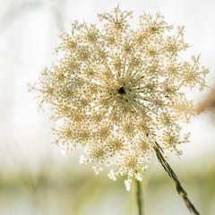 Satellites bokehing (*Capture the Moment*) Tags: white flower macro green bokeh pflanzen blumen grn weiss 2016 farbdominanz sonya7ii sonysel90m28g