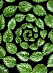 57407.01 Lamium galeobdolon (horticultural art) Tags: leaves spiral lamium lamiumgaleobdolon horticulturalart