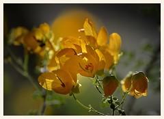 Cassia in the Sun (gauchocat) Tags: arizonasonoradesertmuseum tucsonarizona