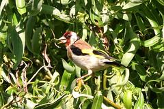 Chardonneret DSC_0042 (2)_01 (f1int_henri) Tags: oiseaux chardonneret