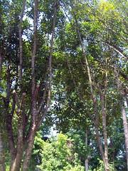 Backyard Trees. (dccradio) Tags: trees sky tree nature leaves sunshine landscape nc scenic northcarolina bluesky greenery sunnyday lumberton robesoncounty walnutmanorapartments