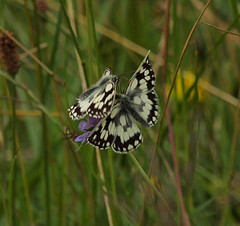2016_06_0838 (petermit2) Tags: marbledwhitebutterfly marbledwhite butterfly brockadale northyorkshire yorkshire yorkshirewildlifetrust ywt wildlifetrusts wildlifetrust