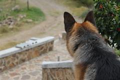 Orejn (AnnRodriguezR) Tags: pet dog german sheperd love puppy nature grass freedom
