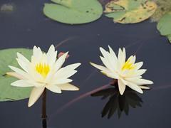 RBG Water Lily 2 (JP Newell) Tags: rbgroyalbotanicalgardens burlington ontario waterlily waterlilies lilies water garden pond