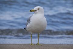 Gary Airshow (Nicola Berry) Tags: airshow nikon nikond5300 sigma18250 18250 sigma gary in indiana seagull bird ocean