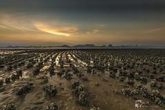 Ha Pak Nai () Tags:  hapaknai yuenlong hongkong landscape mud nikon reflection cloud      sunset sunrise sunlight oyster clouds    gloaming