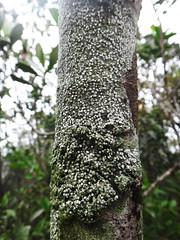 Pertusaria - Ascomycota, Pertusariales (penati.rodrigo) Tags: pertusaria pertusariales ascomycota curucutu nucleocurucutu serradomar mataatlantica parqueestadualserradomar