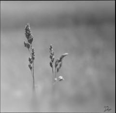 Im Licht (s.lang534) Tags: bw blackandwhite schwarzweis natur nature pflanzen plant olympuse520 wiese sommerwiese summer sommer jahreszeit gras fineart art
