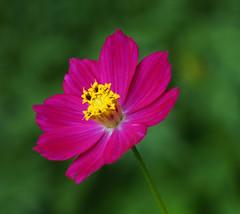 Un cosmos del color rosa para ti! (ltimothy on/off) Tags: cosmos pink rosa flor macro costarica