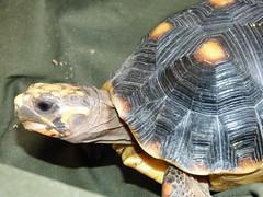 Morrocoy (anthony camargo) Tags: tortuga terrestre morrocoy