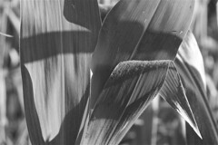 Licht und Schatten (khausp) Tags: schwarzweis unterwegs daily drnach fotografie natur pflanzen postaday