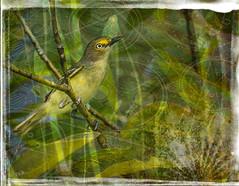 White-eyed Vireo Grunge (ccliffb) Tags: whiteeyedvireo bird nature vectors overlay textures texturedstrokes