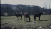 Ponies outside Llancarfan, South of Cowbridge (Mary Gillham Archive Project) Tags: landscape llancarfan st051702 wales 3587