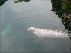 Foca (2) (hatorbu) Tags: animales animals foca seal aquariumfinisterrae aquarium acuario acorua sinfiltro nofilter