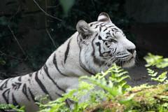 Dierenpark Amersfoort, Witte tijger op 20-07-2016 (Albert y Mara) Tags: wittetijger dierenparkamersfoort tijger