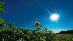 Sun shines (Yasmine Hens) Tags: blue sun flower green yellow jaune plante landscape europa flickr belgium sony vert bleu campagne tournesol namur hens yasmine wallonie sonyilce7s hensyasmine