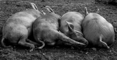 Who took the blankets (Tim Faloon) Tags: pigs sleeping canon 7d bw