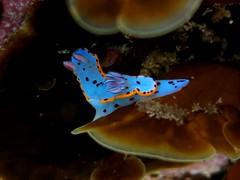 Bennett's Hyseldoris Nudibranch (sarah.handebeaux) Tags: gordons bay sydney australia scuba diving july 2016 bennetts hyseldoris nudibranch