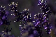 Unser Garten (Juli 2016) (Gnter Hentschel) Tags: lavendel garden garten blau blumen blten blume outdoor flickr flowers germany germania deutschland alemania allemagne europa nrw nikon nikond3200 d3200 hentschel gnter guenter blte pflanze schrfentiefe