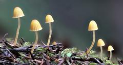 Mushrooms, Mycena sp. Hakarimata Forest Park, Waikato, New Zealand (brian nz) Tags: fungi fungus mushroom mycena hakarimata forest park bush waikato newzealand nz
