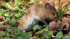 Fiutando la preda (Ferruccio Zanone) Tags: topo selvatico sottobosco natura caccia