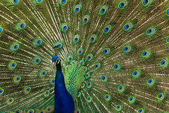 Peacock display (daledare17) Tags: peacock closeup colours feathers zoom display plumage