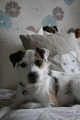 Dave and Dora (made by maxine) Tags: dog parsonrussellterrier cute terrier jackrussell dave