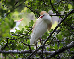 Cattle Egret With Photo Bomber (Alfred J. Lockwood Photography) Tags: alfredjlockwood nature wildlife bird egret cattleegret breedingplumage spring morning rookery dallas texas
