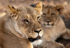 World Lion Day - August the 10th (Jose Antonio Pascoalinho) Tags: africa namibia etosha lions lioness predator carnivore bigfive bigcat nature wildlife wild wilderness animal safari safariphotography outdoor biosphere biodiversity zedith mammal