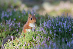 29-08-2016 Red in purple 2 (zandy1978) Tags: red squirrel heather nature animals wildlife canon 7d mkii