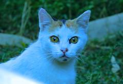 cat (bilal gldoan) Tags: cat cats kediler kedi animal aa animals autdoor white wild weather beyaz blue nikon nikonp600 nature natural nikoncoolpixp600 nice eyes eye gz potraid portre outdoor original orman