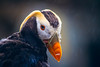 Tufted Puffin (West Leigh) Tags: puffin bird rain wildlife alaska animal eye tuftedpuffin north water canoneos7d