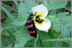 6510 - orange blister beetle (chandrasekaran a) Tags: orangeblisterbeetle blisterbeetle beetle insects nature india chennai canon