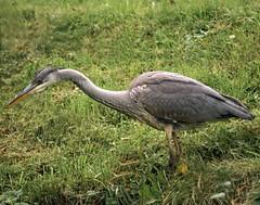 Heron on canalside (radleyfreak) Tags: heron canal towpath bird narrowboats wildlife