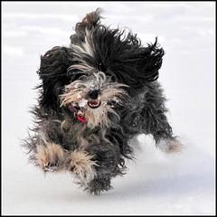 - Felix - (HORB-52) Tags: berndsontheimer badenwrttemberg hund felix havaneser