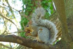 Big Bite (Alemap.1) Tags: squirrel tree nut portrait nature