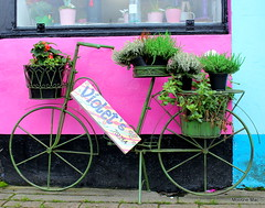 Violets flower shop with heather display (mootzie) Tags: basketpedals flowers scotland lewisflorist stornoway florist blue pink green bicycle wheels heather plants pots violets colourful outer hebrides lewis