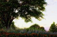 Marigolds at Sunset IMG_4567 (ForestPath) Tags: marigolds tree orange purple green sunsetglowingonthetrunk highkeysky