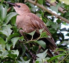 European Starling, immature, Sturnus vulgaris (asterisktom) Tags: 2016 trip2016kazakheuro july germany kahl bavaria bayern mysterybird