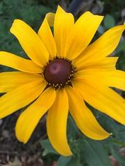 c2016 October 17, Fall Flowers Iphone 6s (King Kong 911) Tags: blackeyedsusan flowers yellow purple black susan white mums