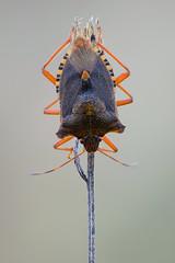 Pentatoma rufipes (Cristian Arghius) Tags: sonya7 rodenstockscitexs350110 canonautobellows rrstp243tripod kpst5d zerenestacker macro naturallight focusstack insect bug pentatomarufipes