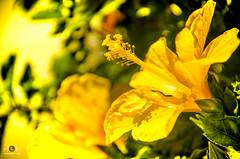Belez Natureza (Robson.r.Lima) Tags: natureza beleza amarelo fundo linda plantas cacheados felicidade felicidadew sorriso menina crianca fotografia background sophia gente foto monocromtico profundidade de campo casamento preto e branco