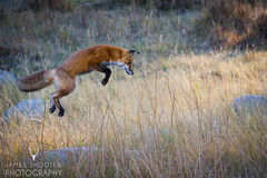 Red Fox, Yellowstone (James Shooter) Tags: september yellowstone yellowstonenationalpark fox jump jumping pounce pouncing redfox vulpesvulpes