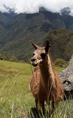 Lama au Machu Picchu (Thomas dudou) Tags: peru perou travel machu picchu lama