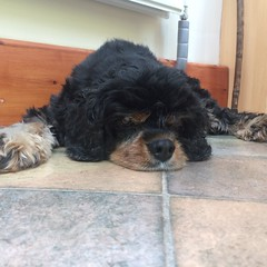 Lucy RIP (2003-2016) (Maxwell Grantly) Tags: lucy king charles spaniel